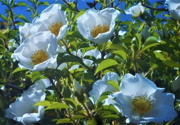 """つる性の白い花 """"浪花茨"""" (ナニワイバラ)が満開"""