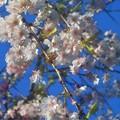 千垂(ちだる)の桜@千光寺山