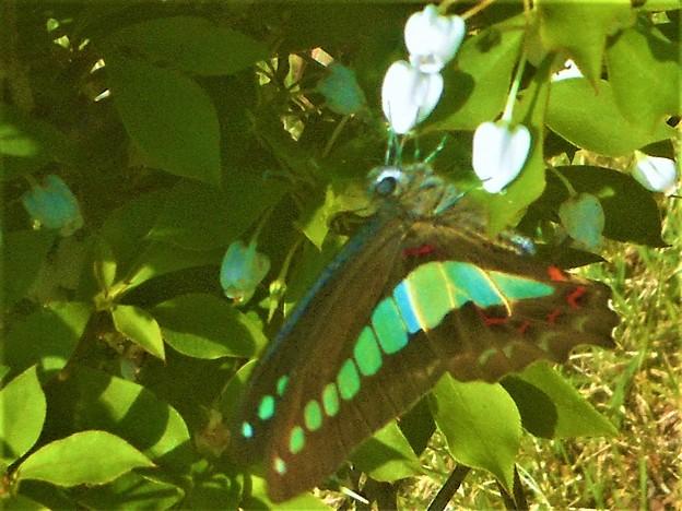 突然 ドウダンツツジに アオスジアゲハが飛んで来た@芝生公園
