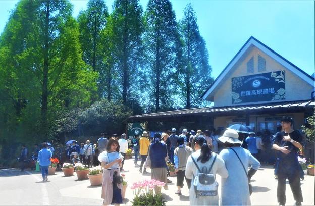 チューリップ祭はピークを迎えていました@広島・世羅高原農場