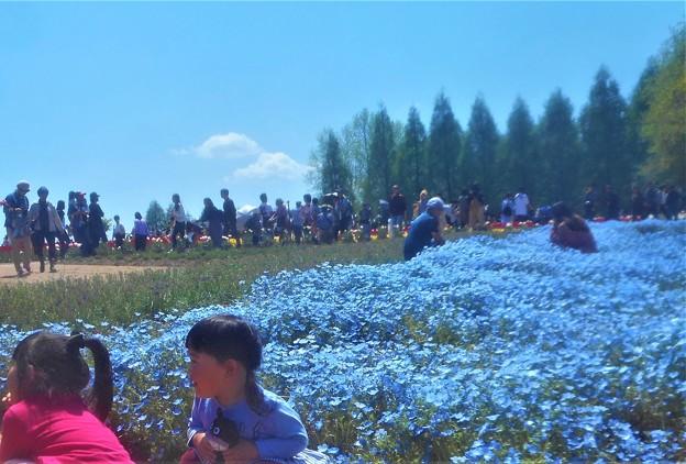 ネモフィラ畑2019@世羅高原農場