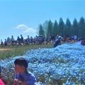Photos: ネモフィラ畑2019@世羅高原農場
