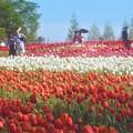 Photos: GWのチューリップ畑@世羅高原農場