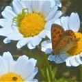 初夏のベニシジミとハナグモ+α(テントウムシの幼虫)