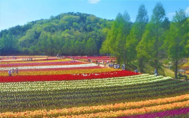 五月のチューリップ畑@世羅高原