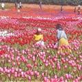 Photos: チューリップ祭2019に現れた花絵@世羅高原農場