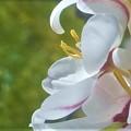 Photos: 初夏に咲く白い花