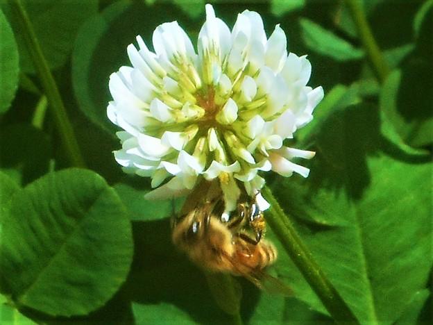 5月のシロツメグサ(クローバー)の花とミツバチ@新高山