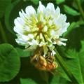 Photos: 5月のシロツメグサ(クローバー)の花とミツバチ@新高山