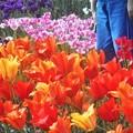 風薫る5月のチューリップ畑@世羅高原農場
