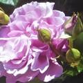 Photos: 淡いバイオレットな薔薇@世羅高原農場