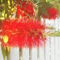初夏に咲くブラシの木(ブラシノキ)の花