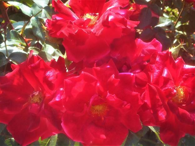 """赤い薔薇 """"チャールストン""""@緑町公園"""