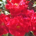 "Photos: 赤い薔薇 ""チャールストン""@緑町公園"