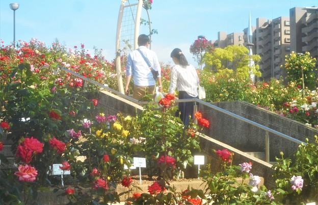 ローズヒルは花盛り@福山ばら祭2019