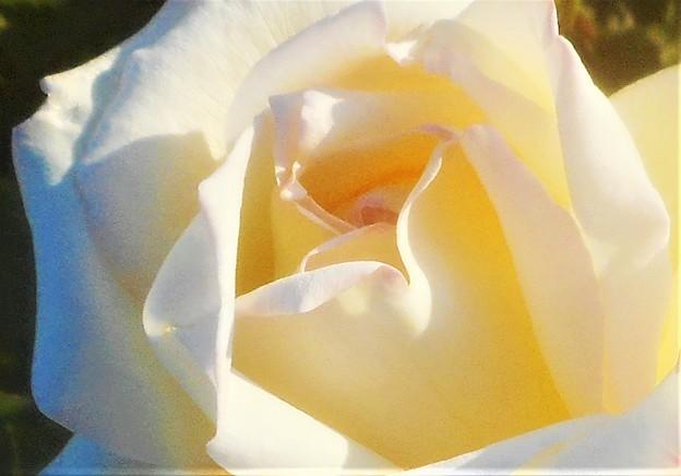 5月の白いバラ@緑町公園会場