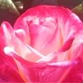 五月の薔薇 クライスラー・インペリアル@ばら公園
