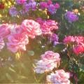 Photos: 初夏の薔薇 ピノキオなど@緑町公園ローズヒル
