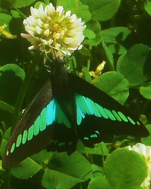 花蜜求めてアオスジアゲハ@クローバーの花