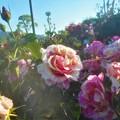 """Photos: 花盛りの丘の薔薇 """"クロード モネ""""@ローズヒル@緑町公園"""