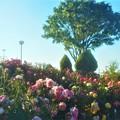 花盛りの丘@ローズヒル@緑町公園