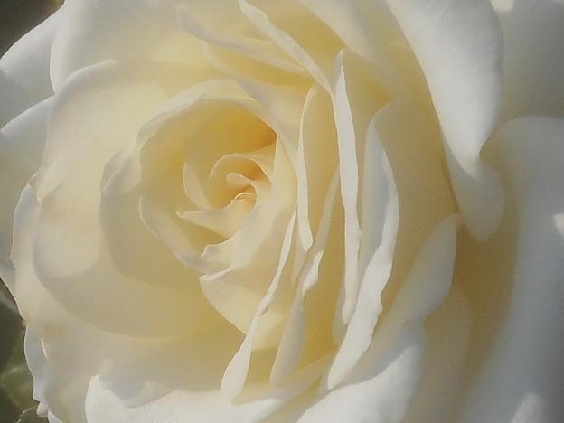 """初夏の白い薔薇 """"パスカリ"""" Pascali@ばら公園"""