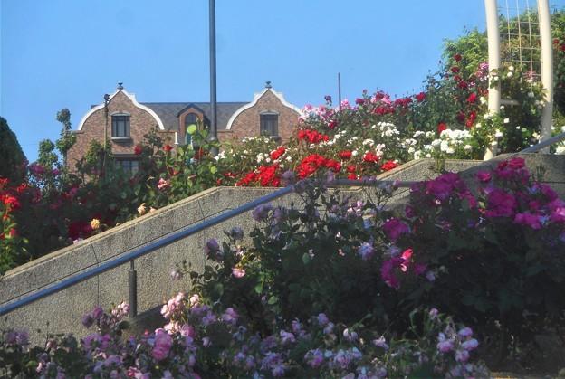 """初夏のローズヒルの薔薇と オーガニックカフェ """"アージョ""""@緑町公園"""