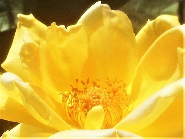 """ローズヒルの薔薇 """"金閣""""@福山ばら祭2019"""