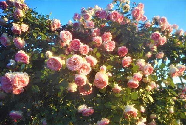 """ローズヒルの薔薇 """"ピエール ドゥ ロンサール""""@緑町公園"""