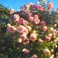 "Photos: ローズヒルの薔薇 ""ピエール ドゥ ロンサール""@緑町公園"
