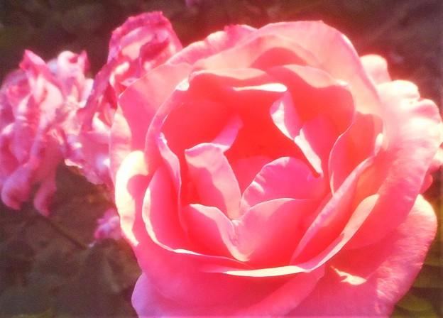 """初夏の薔薇 """"ピノキオ""""@ローズヒル"""