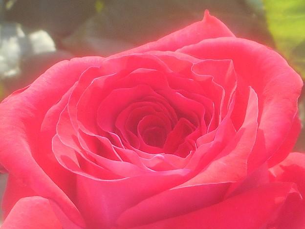 """ばら公園の薔薇 """"オーナー""""@ばら祭"""