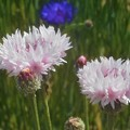 初夏に咲く ヤグルマソウ@瀬戸内海島嶼部