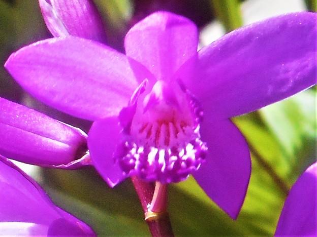 紫蘭(シラン)咲く