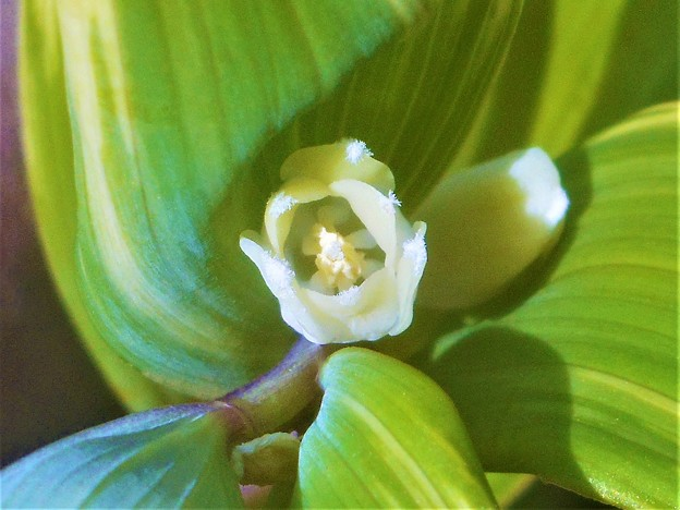 擬宝珠(ギボウシ)の花