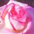 """ローズヒルに咲く薔薇 """"プリンセス ドゥ モナコ""""@緑町公園"""