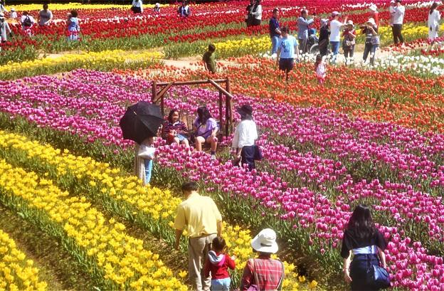 Photos: のどかな特設丸太ブランコのある花風景@世羅高原@チューリップ畑