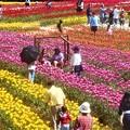 のどかな特設丸太ブランコのある花風景@世羅高原@チューリップ畑