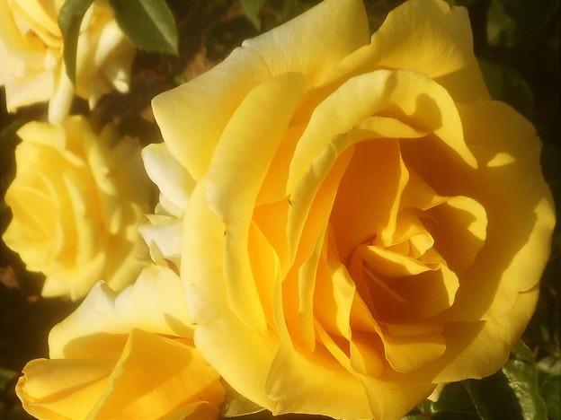 """新緑の薔薇 """"ビッグ ダディー""""@ばら公園"""
