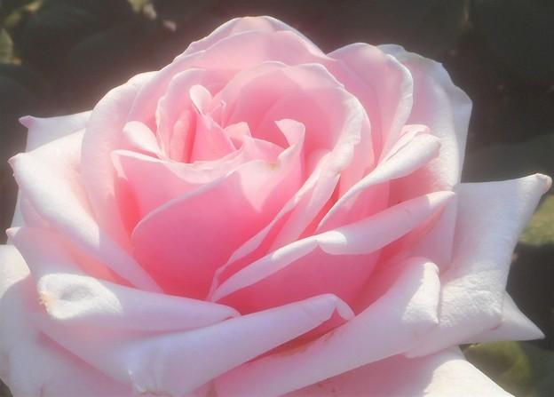 """初夏の薔薇 """"オードリー ヘップバーン""""@ばら公園"""