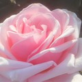 """Photos: 初夏の薔薇 """"オードリー ヘップバーン""""@ばら公園"""