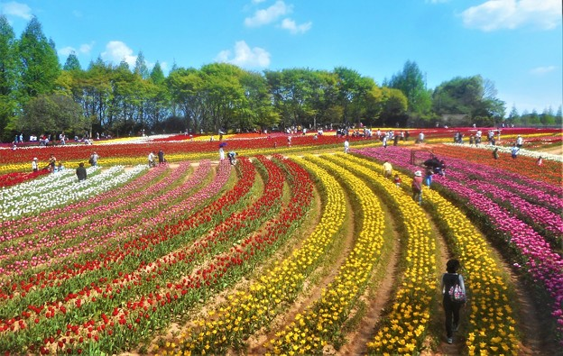 GWののどかな花風景@世羅高原農場@チューリップ畑