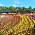 Photos: GWののどかな花風景@世羅高原農場@チューリップ畑