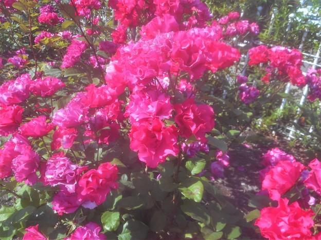 """五月の平咲きの薔薇 """"パーマネント ウェーブ""""@フロリバンダ系@緑町公園"""