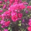 "Photos: 五月の平咲きの薔薇 ""パーマネント ウェーブ""@フロリバンダ系@緑町公園"