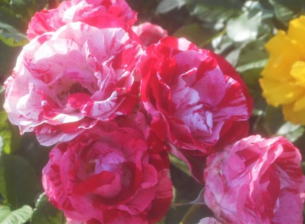 斑入りの薔薇@初夏のばら公園