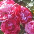 Photos: 斑入りの薔薇@初夏のばら公園