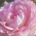 "Photos: 新緑の薔薇 ""ピエール ドゥ ロンサール""@作出者メイアン@1986年フランス(CL)"