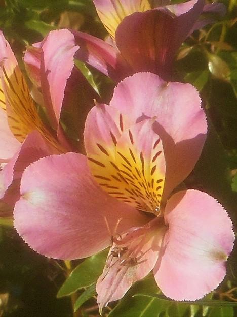 夏至過ぎの アルストロメリアの花@三原城址周辺
