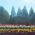 Photos: GWの世羅高原@チューリップ畑